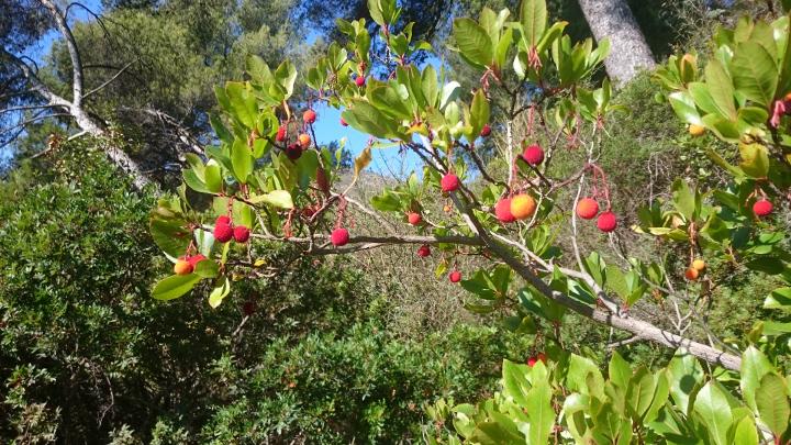Jordbærbusk-bilde